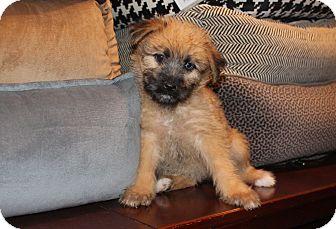 Wheaten Terrier/Shepherd (Unknown Type) Mix Puppy for adoption in Los Angeles, California - Ambrosia