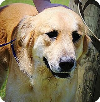 Golden Retriever Mix Puppy for adoption in Oswego, Illinois - Bishop
