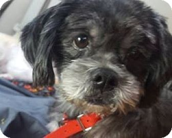 Lhasa Apso Dog for adoption in loxahatchee, Florida - Cuddles