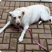 Adopt A Pet :: Beatrice - Chicago, IL