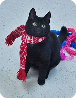 Domestic Shorthair Cat for adoption in Chambersburg, Pennsylvania - Hallow