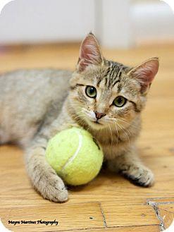 Domestic Shorthair Kitten for adoption in Nashville, Tennessee - Frost