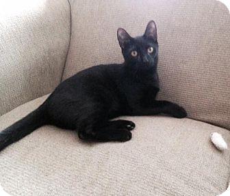 American Shorthair Cat for adoption in Kansas city, Missouri - Merlin