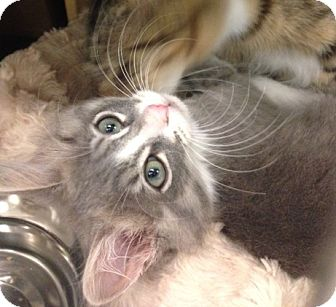 Domestic Longhair Kitten for adoption in San Leandro, California - Gladys
