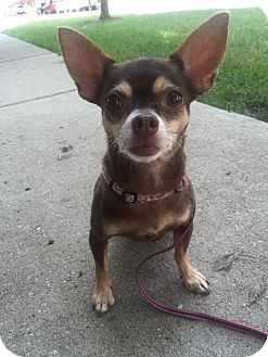 Chihuahua Mix Dog for adoption in Chicago, Illinois - Carlee