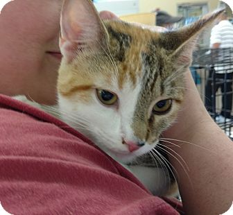 Calico Cat for adoption in Pelham, Alabama - Ginny