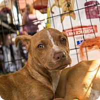 Adopt A Pet :: Belle - Lodi, CA