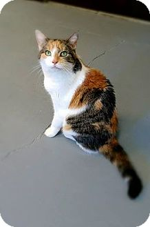 Domestic Shorthair Cat for adoption in Austintown, Ohio - Ellie