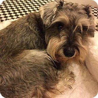 Miniature Schnauzer Dog for adoption in Redondo Beach, California - Sunny