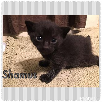 Domestic Shorthair Kitten for adoption in Jerseyville, Illinois - Shamus