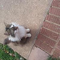 Adopt A Pet :: NC - Miss Blade (CP) - Gainsville, GA