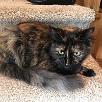 Domestic Mediumhair Cat for adoption in Gastonia, North Carolina - Kuechly