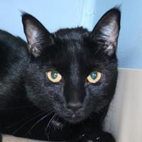 Adopt A Pet :: SHADOW - Newport News, VA
