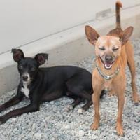 Mixed Breed (Small) Mix Dog for adoption in Petaluma, California - Rookie