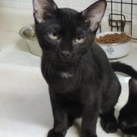 Adopt A Pet :: Anakin - Westville, IN