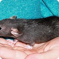 Rat for adoption in Saanichton, British Columbia - Aero