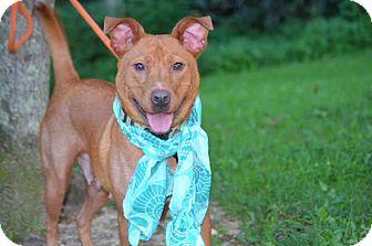 Vizsla Mix Dog for adoption in Kittery, Maine - Dora