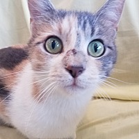 Domestic Shorthair Cat for adoption in Alexandria, Minnesota - Florence