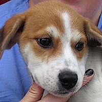 Adopt A Pet :: Spanky - Germantown, MD