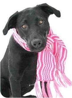 Labrador Retriever/Greyhound Mix Dog for adoption in Ladysmith, Wisconsin - Emily