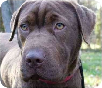 Labrador Retriever/Shar Pei Mix Dog for adoption in Mocksville, North Carolina - Abbey
