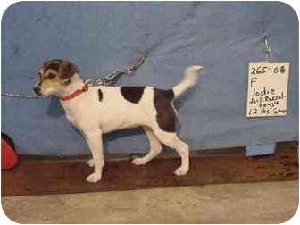 Jack Russell Terrier/Beagle Mix Dog for adoption in Zanesville, Ohio - Jodie/Adopted!