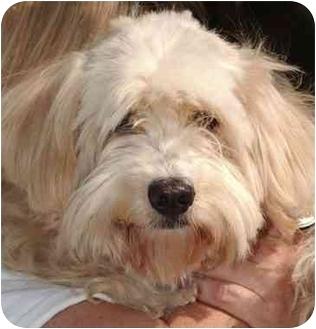 Cockapoo/Terrier (Unknown Type, Medium) Mix Dog for adoption in El Segundo, California - Hailey