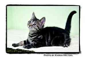 Domestic Shorthair Kitten for adoption in Warren, Pennsylvania - Queen