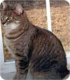 Domestic Shorthair Cat for adoption in Thibodaux, Louisiana - Coco Fe2-7230