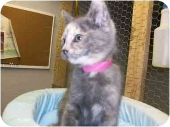 Domestic Shorthair Kitten for adoption in Lafayette, New Jersey - Monique-ADOPTED