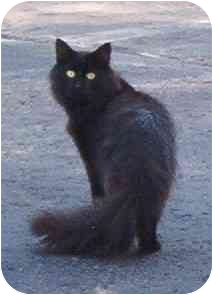 Domestic Mediumhair Cat for adoption in Montreal, Quebec - Lola