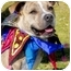 Photo 3 - American Pit Bull Terrier/American Pit Bull Terrier Mix Dog for adoption in Bellflower, California - Rainbow