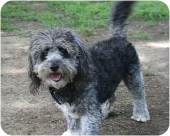 Poodle (Miniature)/Schnauzer (Miniature) Mix Dog for adoption in Sherman Oaks, California - Panderson