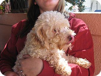 Poodle (Miniature) Dog for adoption in Greenville, Rhode Island - Corbin