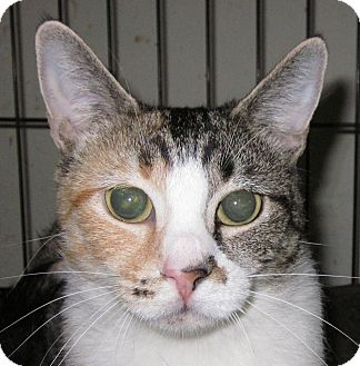 Calico Cat for adoption in Winchester, California - Hailey