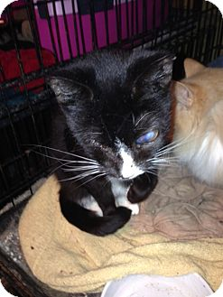 Domestic Shorthair Cat for adoption in Wanaque, New Jersey - micah