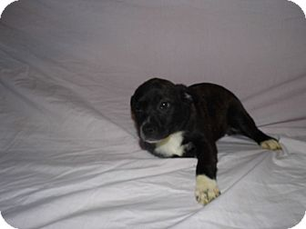 Welsh Corgi Mix Puppy for adoption in Bel Air, Maryland - Skylar