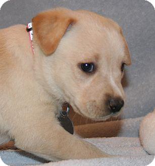 German Shepherd Dog/Labrador Retriever Mix Puppy for adoption in Scottsdale, Arizona - Arizona