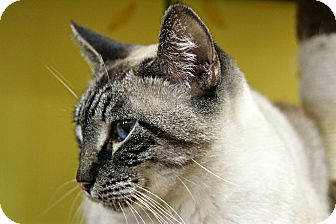 Siamese Cat for adoption in Mobile, Alabama - Whisper