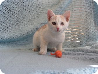 Domestic Mediumhair Kitten for adoption in Ridgway, Colorado - Aura