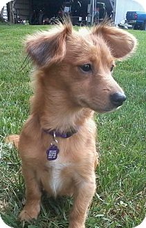 Dachshund/Chihuahua Mix Puppy for adoption in Hagerstown, Maryland - Maxine