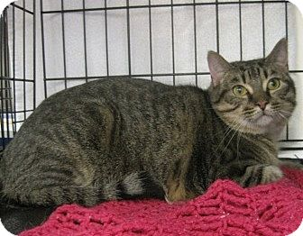 Domestic Shorthair Cat for adoption in Houston, Texas - Hermes