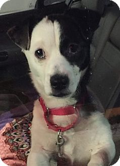 Jack Russell Terrier/Corgi Mix Dog for adoption in Worcester, Massachusetts - Bolo