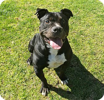 American Staffordshire Terrier Mix Dog for adoption in El Cajon, California - Hank