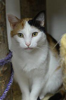 Domestic Shorthair Cat for adoption in Atlanta, Georgia - Marlena 14535