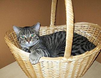 Domestic Shorthair Cat for adoption in Kohler, Wisconsin - Jazmin