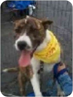 Akita/American Pit Bull Terrier Mix Dog for adoption in West Los Angeles, California - Chase