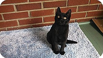Domestic Shorthair Kitten for adoption in Randolph, New Jersey - Misty and Tyson