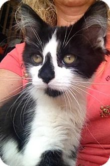 Domestic Shorthair Kitten for adoption in Hamilton, Ontario - Chip