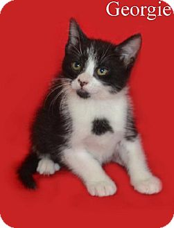 Domestic Shorthair Kitten for adoption in Green Cove Springs, Florida - Georgie